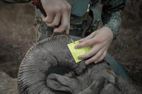 Sheep hunter notches tag on missouri river breaks bighorn ram in Montana