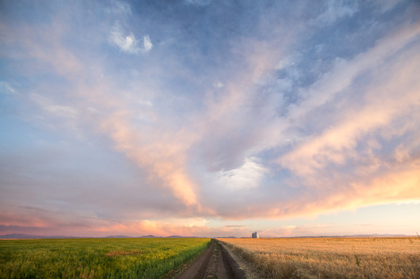 Choose your side, spring wheat or winter wheat with a beautiful sunset in Great Falls, Montana