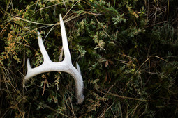 whitetail shed horn on bush