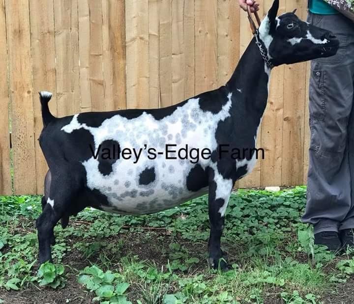 """""""CH Weedy Tavern Farm Lilly"""", EEE93"""