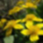 marsh-marigold.jpg
