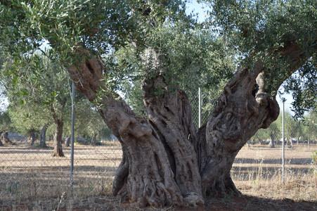 olivo secolare estate