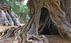 albero secolare lecce