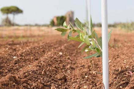 Germoglio pianta di ulivo F17 Favolosa, oleificio agro, lecce, puglia.