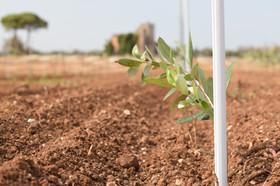 pianta di ulivo salento
