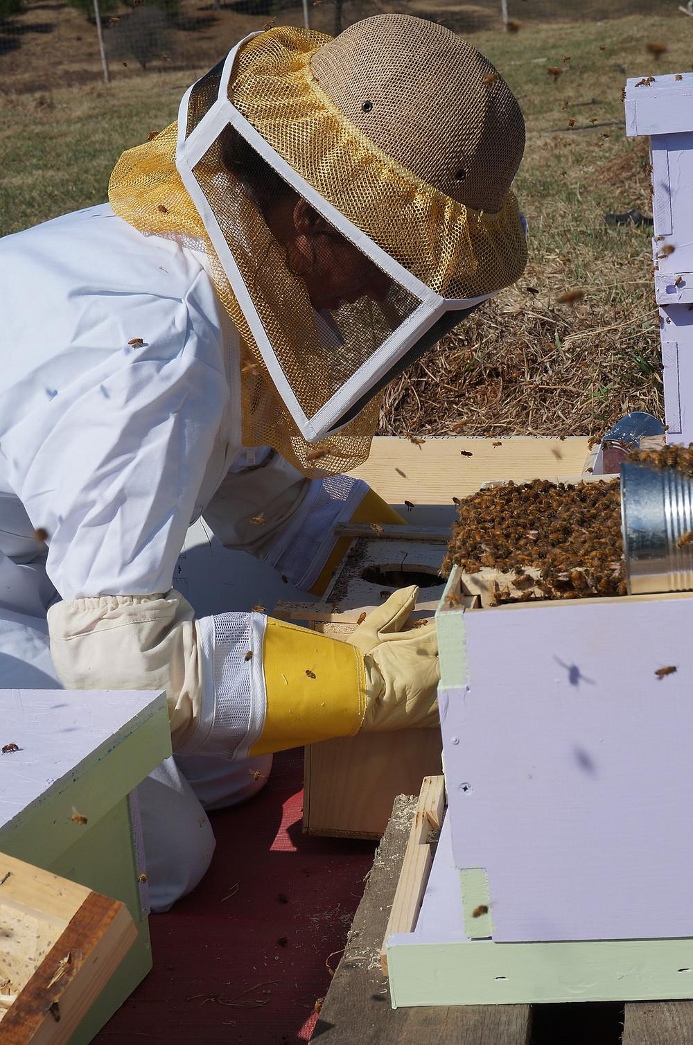 Beekeeper inspecting hive, Ann Arbor MI