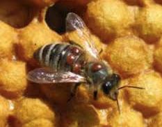 Sugar Roll Method to Monitor Varroa Mites