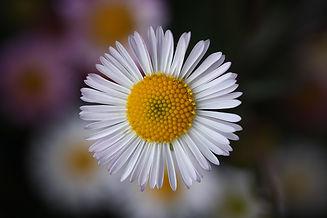 daisy.jpg