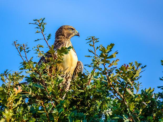 Regal Osprey