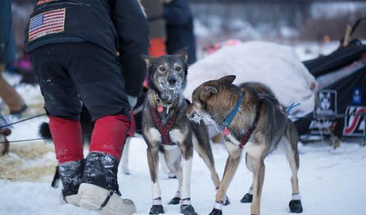 Iditarod 2015 - Nenana Checkpoint
