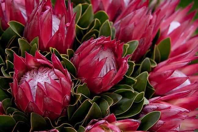 red-protea-picture-id626501234_1024x1024
