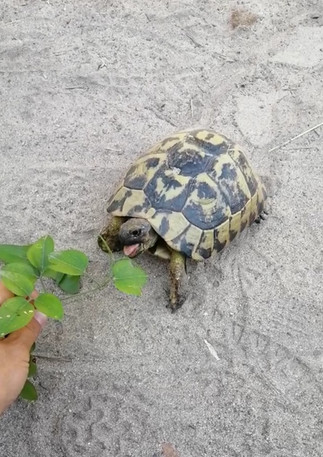 Turtles in s'Albufera nature park.jpg
