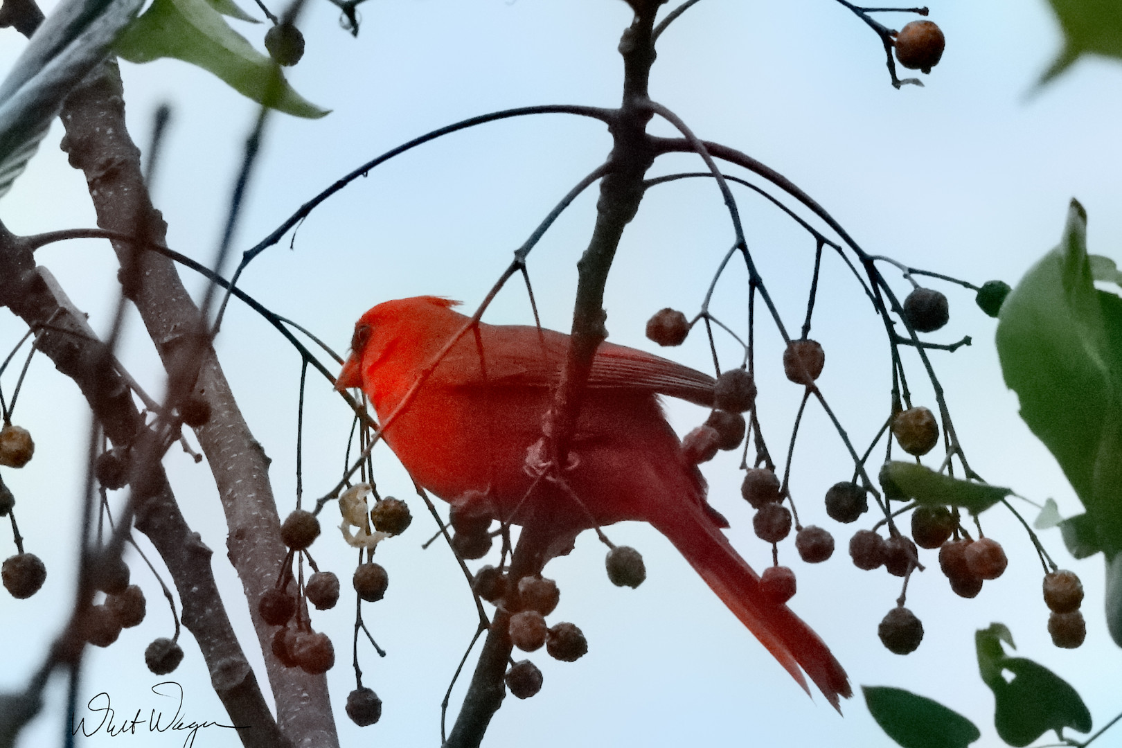 cardinal in chimaberry tree.jpg