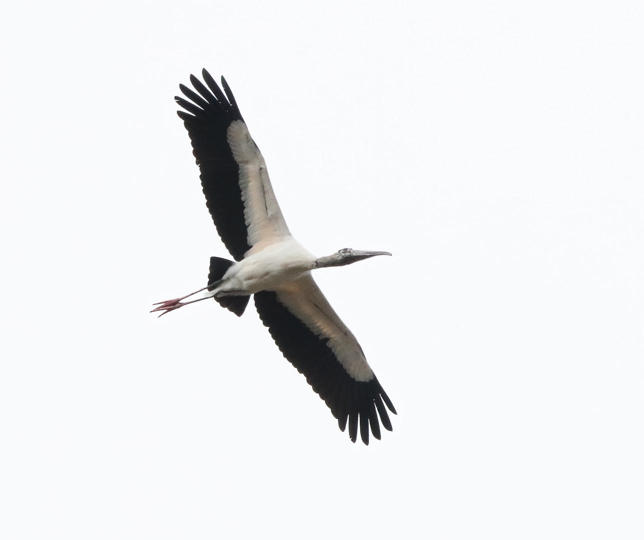wood stork 90d.jpg