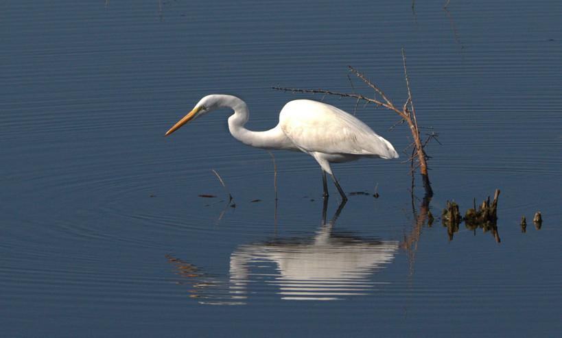 egret stalking2.jpg
