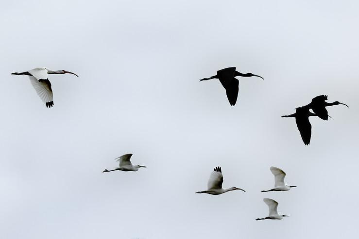 ibis in flight 2 7dii.jpg