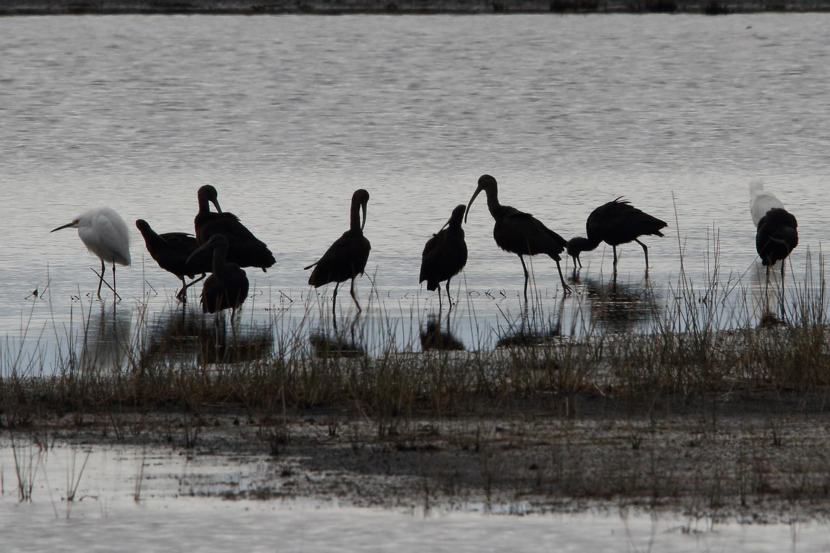 ibis silouettes 7dii.jpg