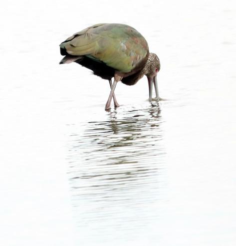 glossy ibis 1833x1907.JPG