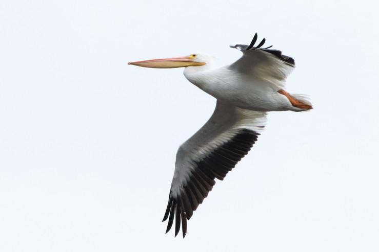 pelican 90d (2).JPG