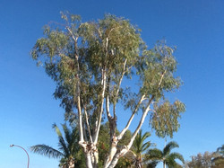 Eucalyptus Victrix after