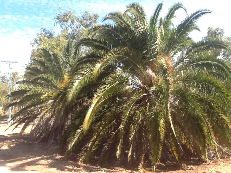 Date Palms before