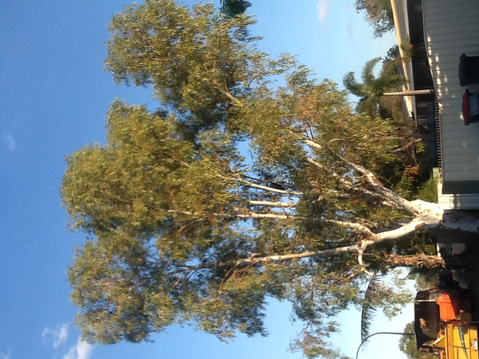 Eucalyptus Victrix Before