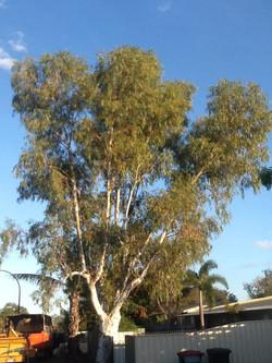 Eucalyptus Victrix Before