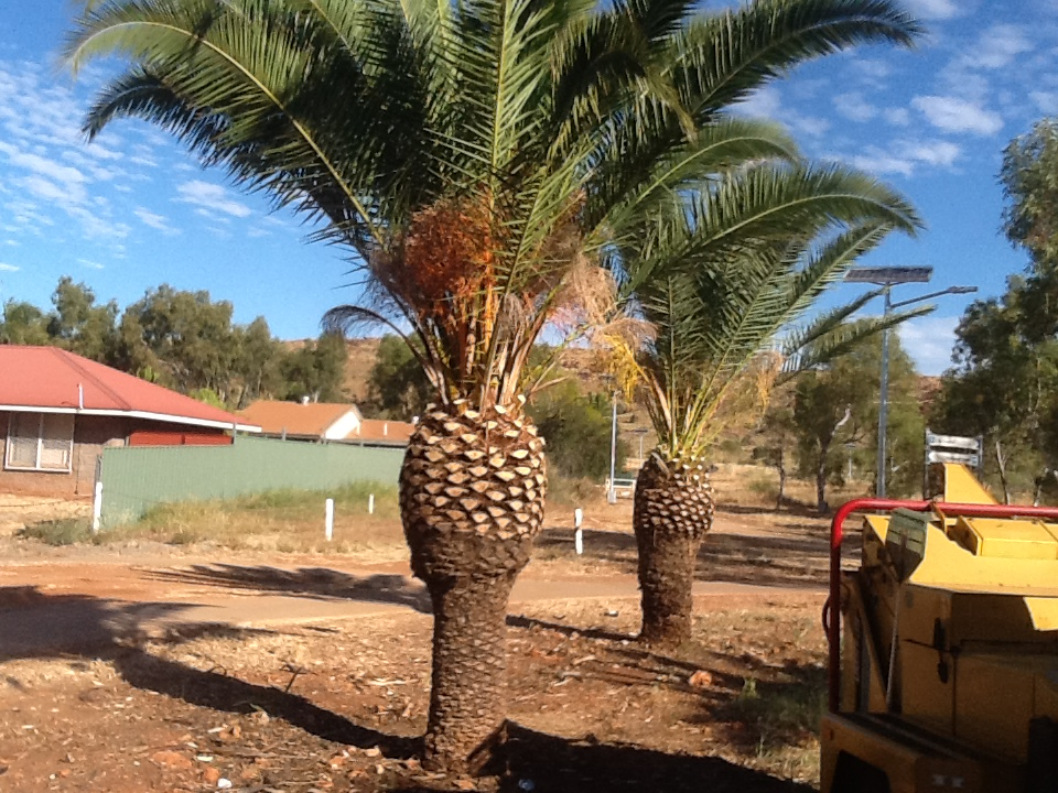 Date Palms after