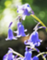 close-up of beautiful bluebell flowers -