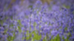 Carpet of spring  bluebells with blurred