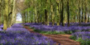 Bluebell Wood Hertfordshire UK.jpg