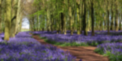 Bluebell Wood Hertfordshire UK.jpg