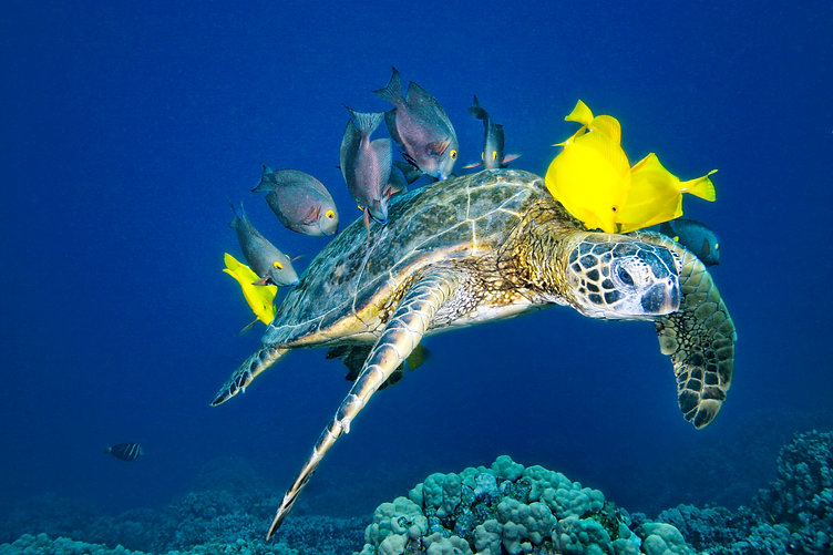 Amazing turtle cleaning station with Kohala Divers