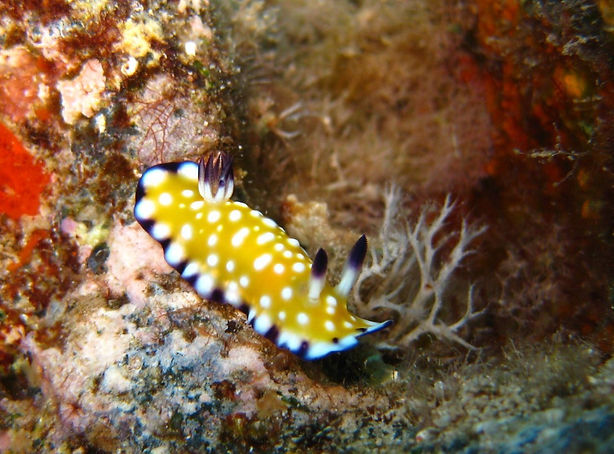 Nudibranch hawaii