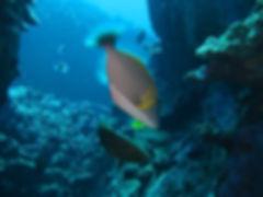 Hawaii State Fish and Kohala Divers