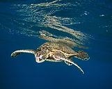 Turtle honu