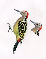Hispaniolan Woodpecker. Male and female. Hispaniola