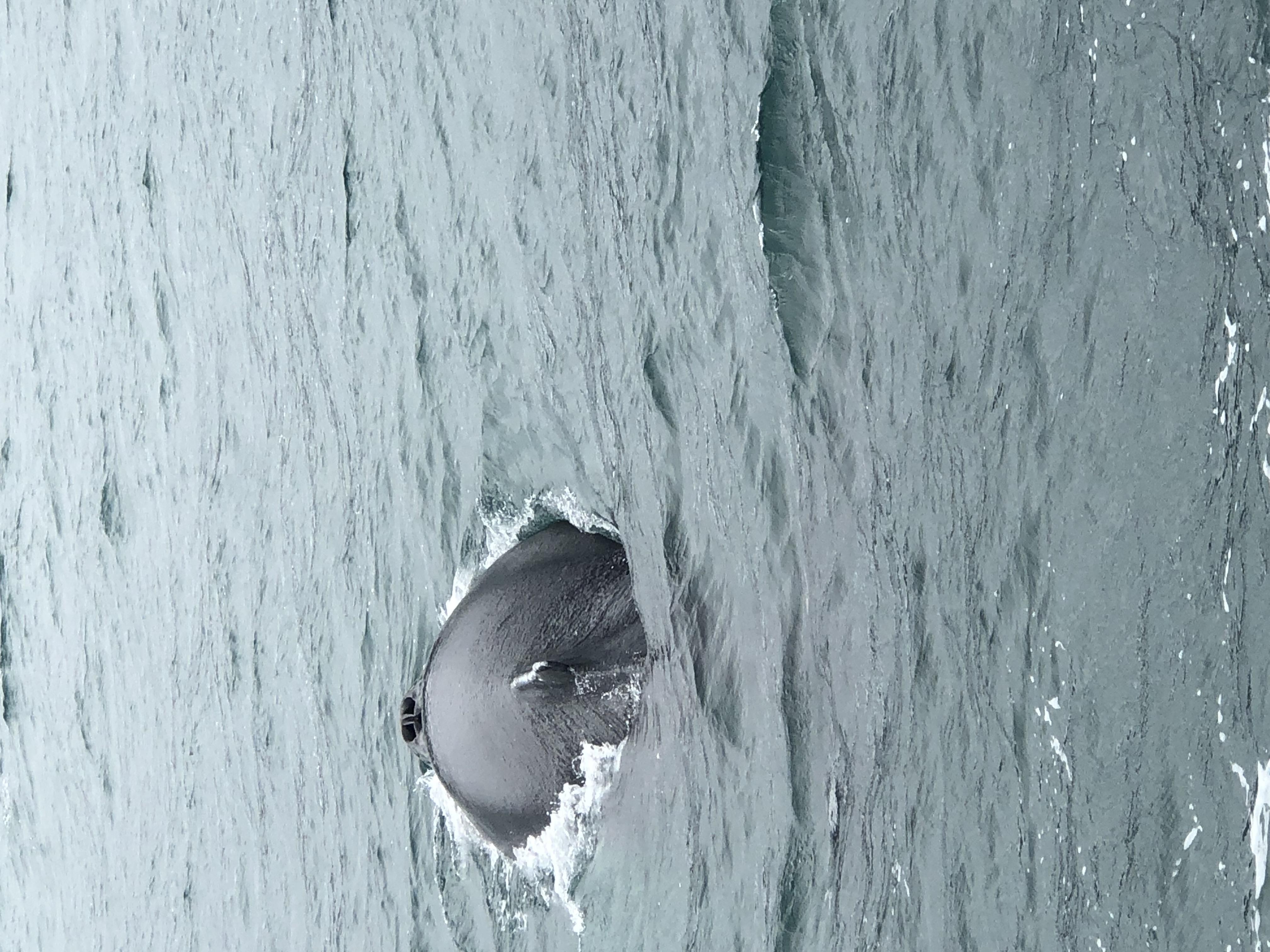 baleine hirsey