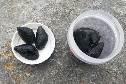 Limnée escargot des étangs flottant x6 grand pot