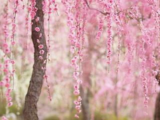 Праздник цветения сакуры в Японии (19 марта)