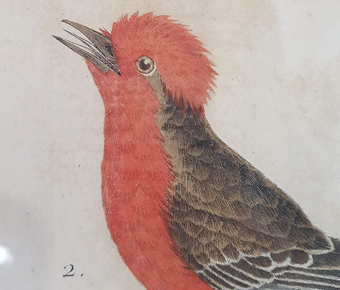 Early Hand Coloured Bird Prints C1800