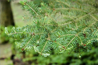 Aphid damage on fir