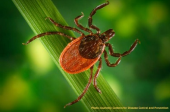 The Japanese Barberry and the Tick