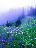 """Purple Haze"" - Washington"