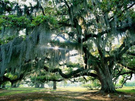 """""""The Dreaming Tree"""" - Louisiana"""