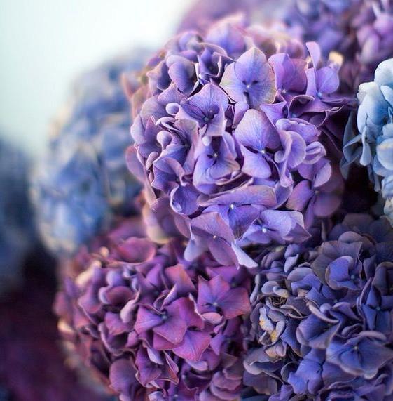 ultra violet hydrangea