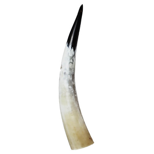 Decorative Polished Horn 50-60cm