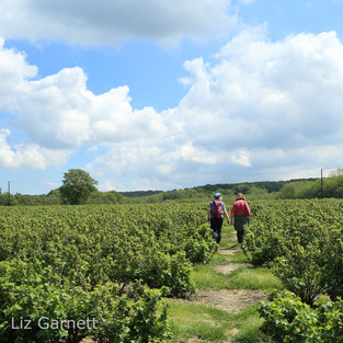 Walking through a field of currant bushes.