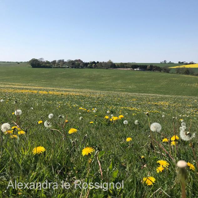 Dandelions in a field near the home of Alex.