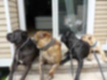 capital cane corso, cane corso, cane corso dog, cane corso puppy, cane corso picture